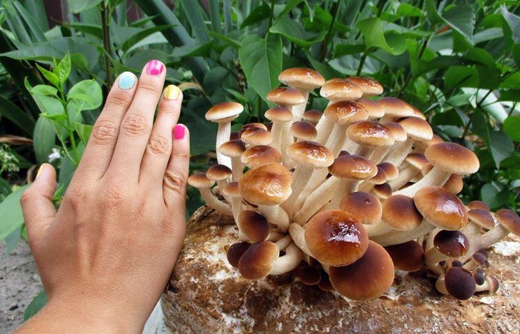 Coltivazione di funghi