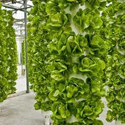 Verdura coltivata con la tecnica aeroponica