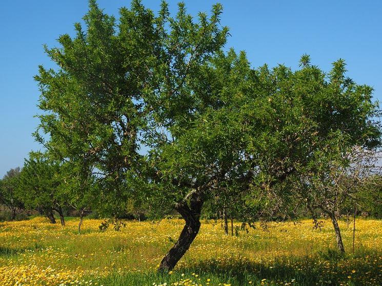 Giovane pianta di olivo