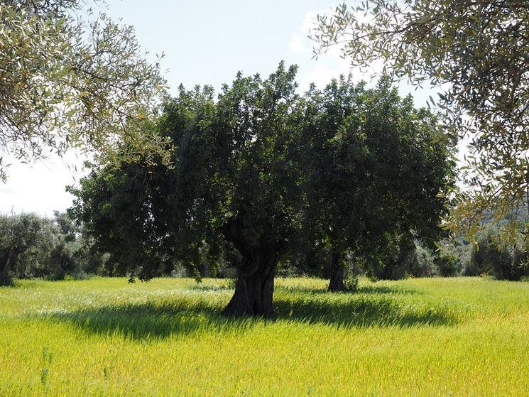 Tipica chioma dell'olivo