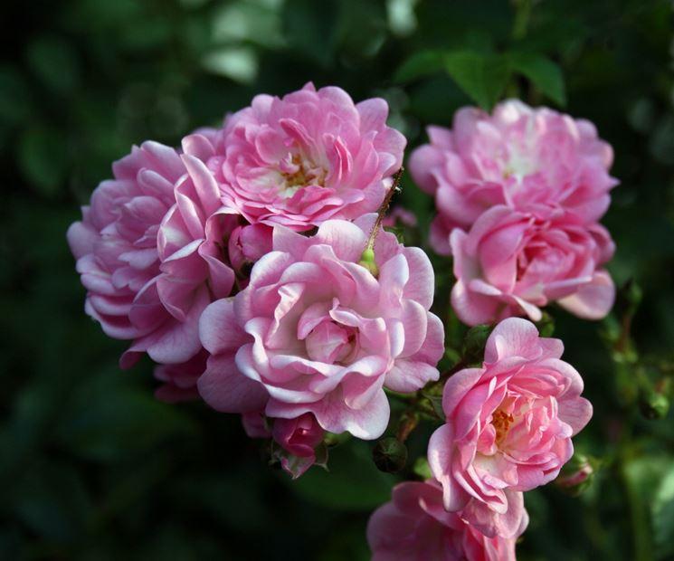 Rose da raccogliere