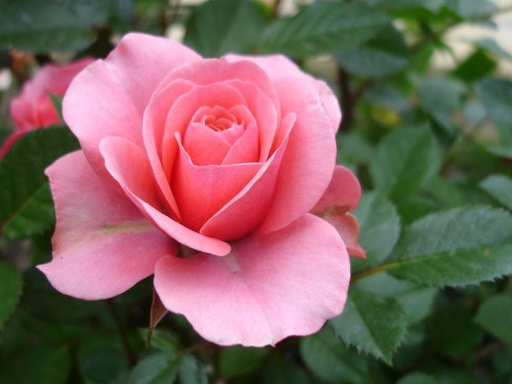 Rosa sbocciata