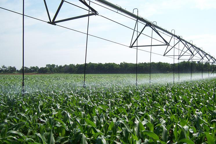 Campo coltivazione piante mais