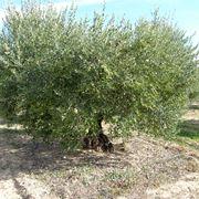 Albero di olivo adulto