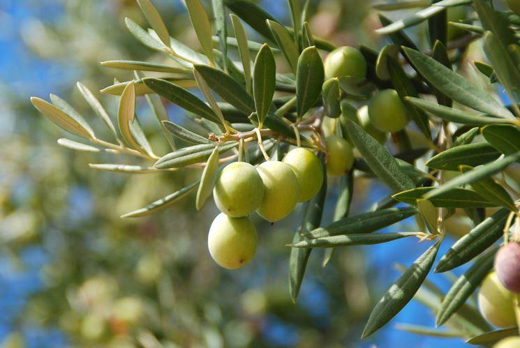 Frutti di una pianta di olivo