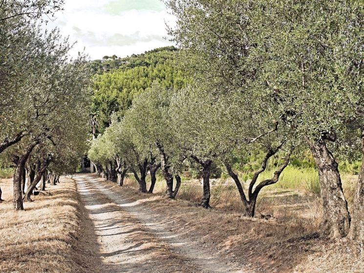 Olivi lungo un sentiero