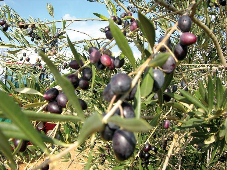 Olive mature