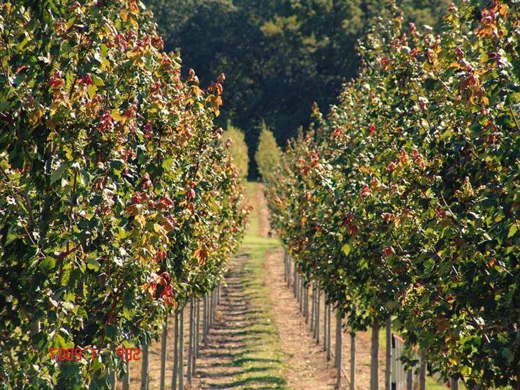 Filari di alberi da frutto