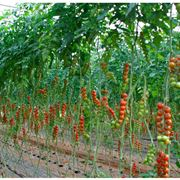 pomodori ciliegino in serra