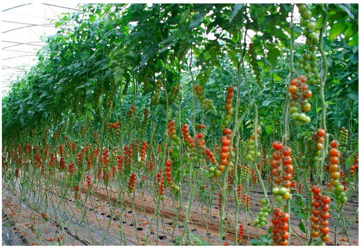 Concime per pomodori giardinaggio concime per pomodori for Concime per pomodori