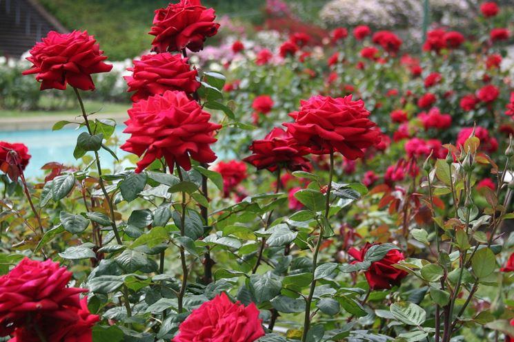 Rose spazio aperto