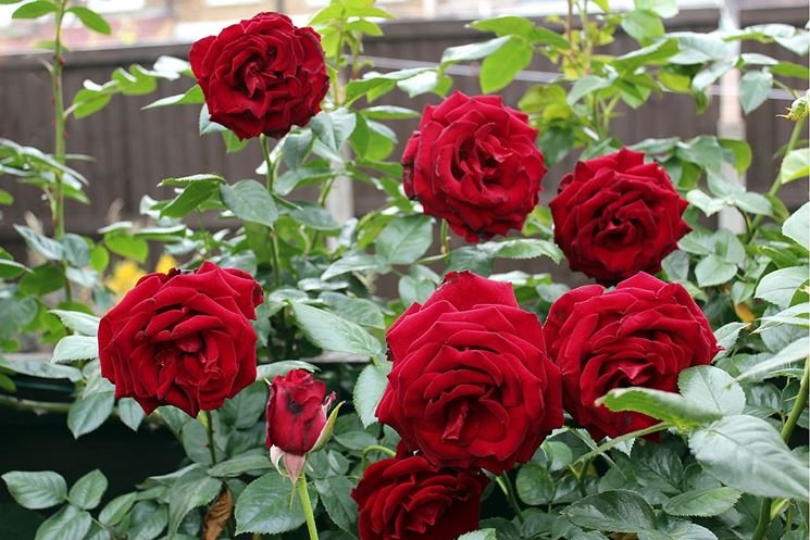 Rosa pianta contenitore