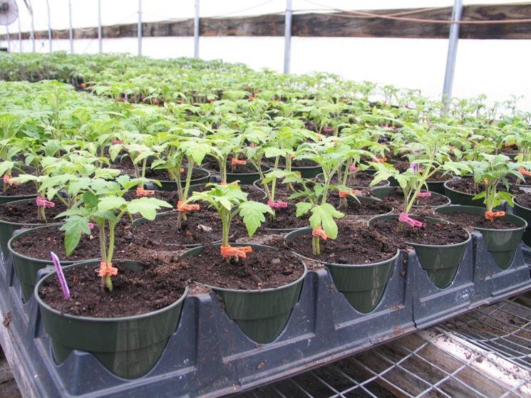 Coltivazione a partire dal semenzaio