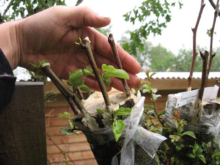 Realizzare gli innesti delle piante