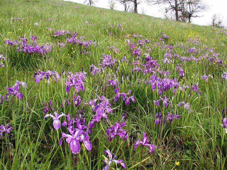 Iris terreno argilloso