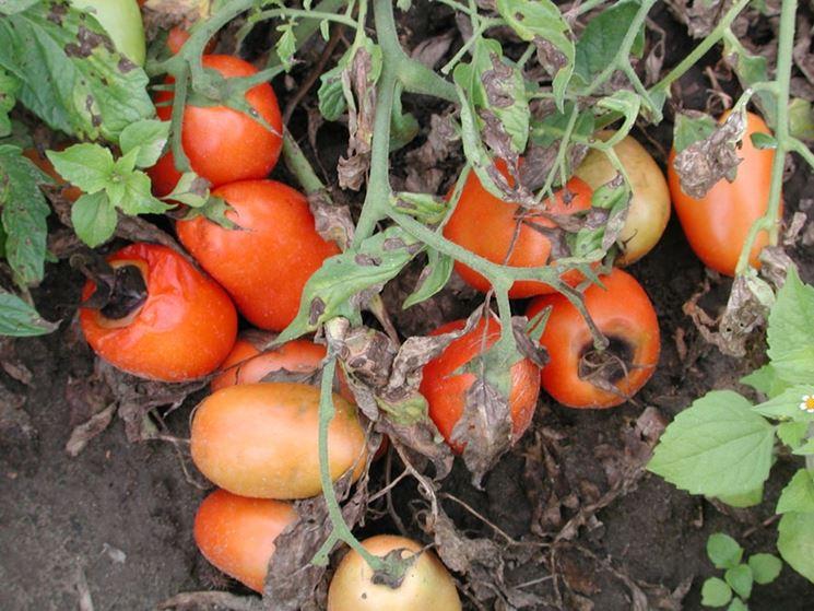 Pomodori alternaria