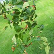foglie colpite da antracnosi