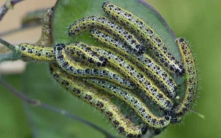 Bruchi cavolaia