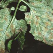 foglia di pomodoro con macchie da cladosporiosi