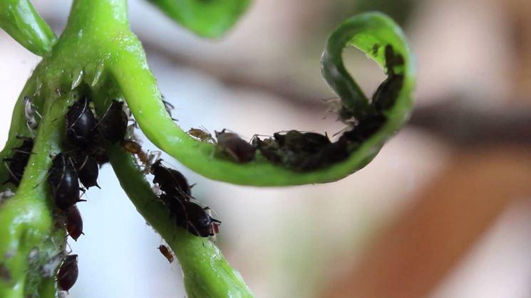 I pidocchi delle piante