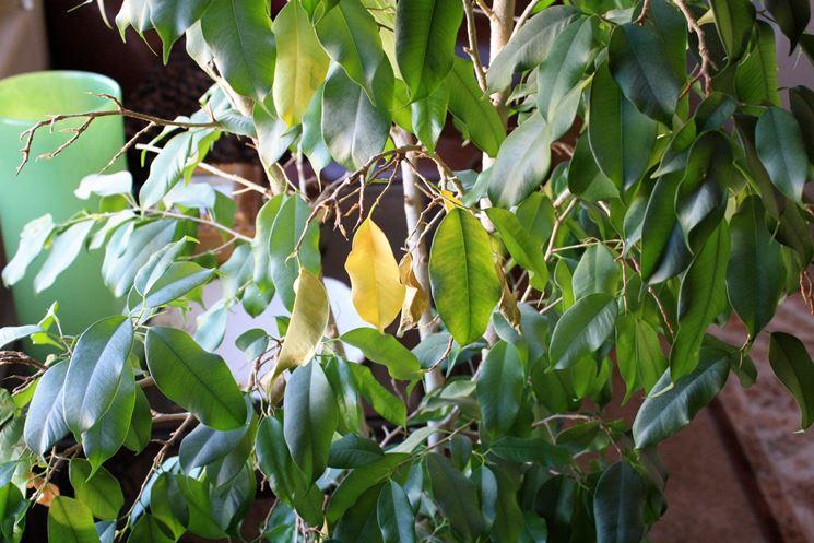 Ficus benjamin foglie malate