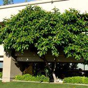 ficus benjamin foglie gialle