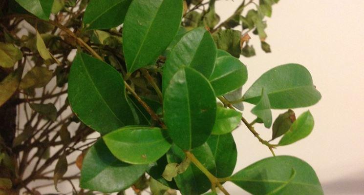 Ficus benjamin rami secchi