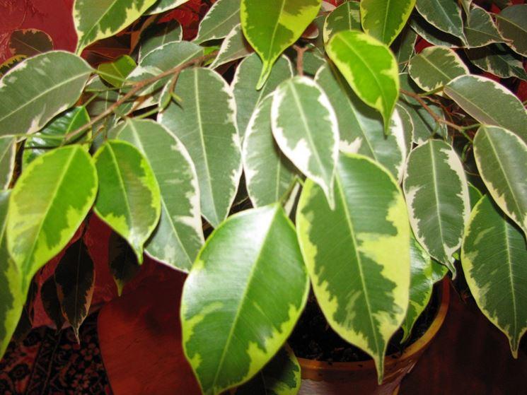 Ficus benjamin sano