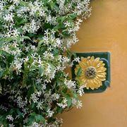 Gelsomino giardino