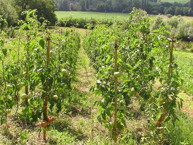 Pomodori l'habitat ideale