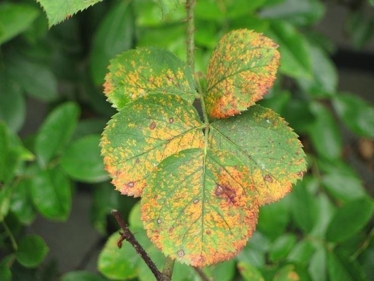 Malattie delle rose malattie delle piante cura rose for Malattie delle rose
