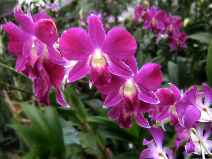orchidee parassiti