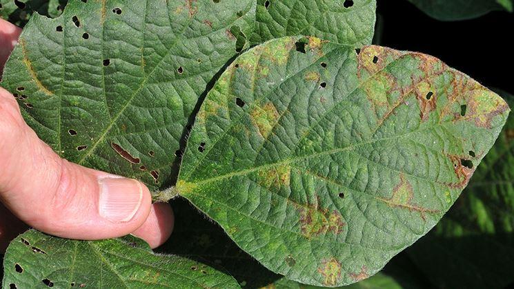 Necrotizzazione foglie