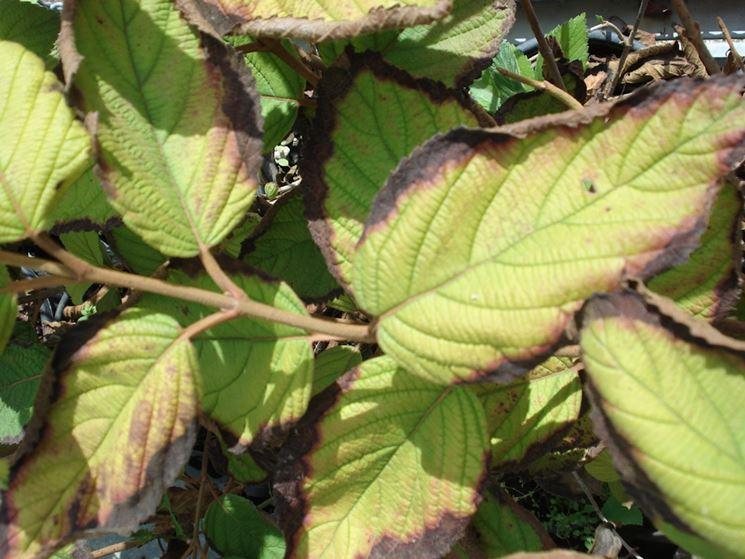 ortensia malattie malattie delle piante malattie ortensia