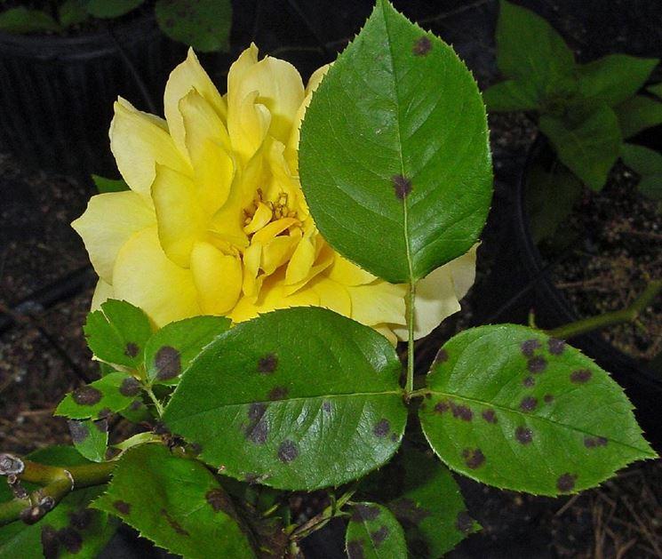 Rose colpite da Peronospora