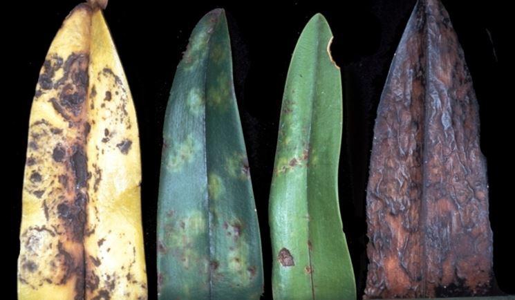 Foglie di piante con virosi