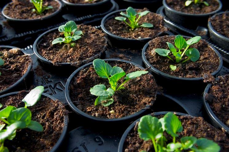 Piantine cresciute nel substrato