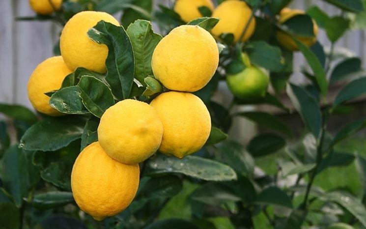 Limoni pianta