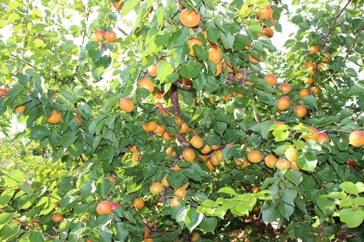 Albero di albicocco con frutta