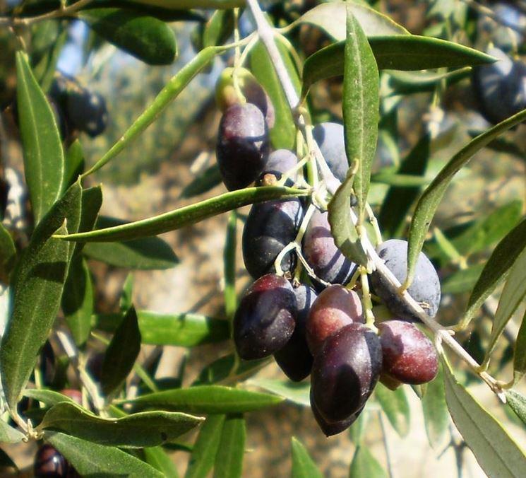 Ramo fruttifero di olivo