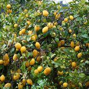 Coltivazione di limoni
