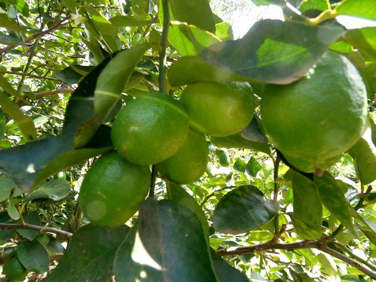 Potare il limone potature potatura limone for Potatura limone periodo