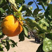 Eseguire potatura arancio