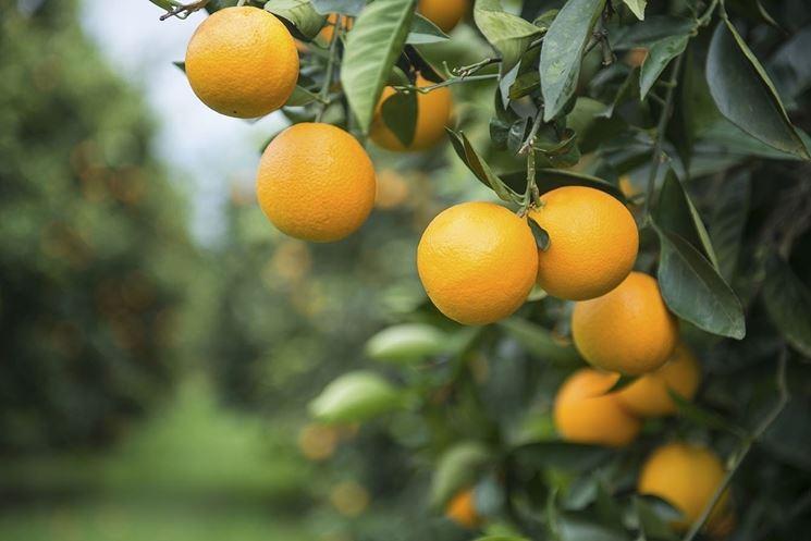 Frutti albero arancio