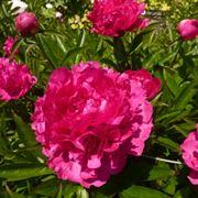 Pianta di Camellia fiorita