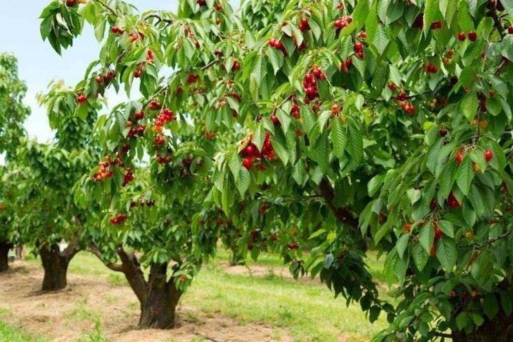 Esemplari di alberi di ciliegio