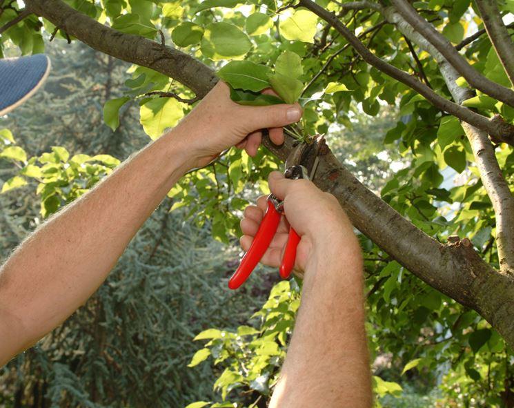 Potatura contenimento albero frutto