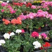 Gerani fiori