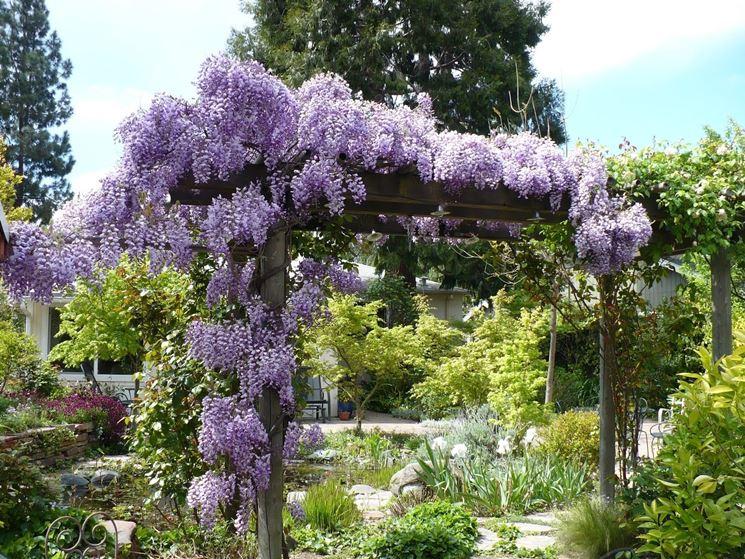Elegante glicine da giardino