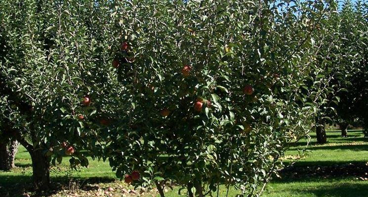 Giovane pianta di melo